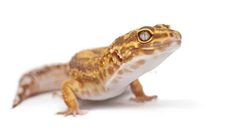 Albino πορτοκαλί gecko λεοπαρδάλεων, macularius Eublepharis στοκ φωτογραφία