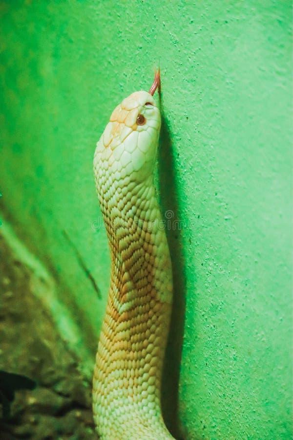Albino το cobra βασιλιάδων είναι κόκκινο μάτι στοκ φωτογραφία με δικαίωμα ελεύθερης χρήσης