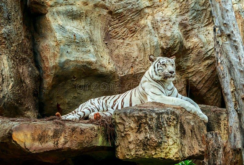 Albino ύπνος τιγρών στο βράχο στο ζωολογικό κήπο στοκ φωτογραφίες