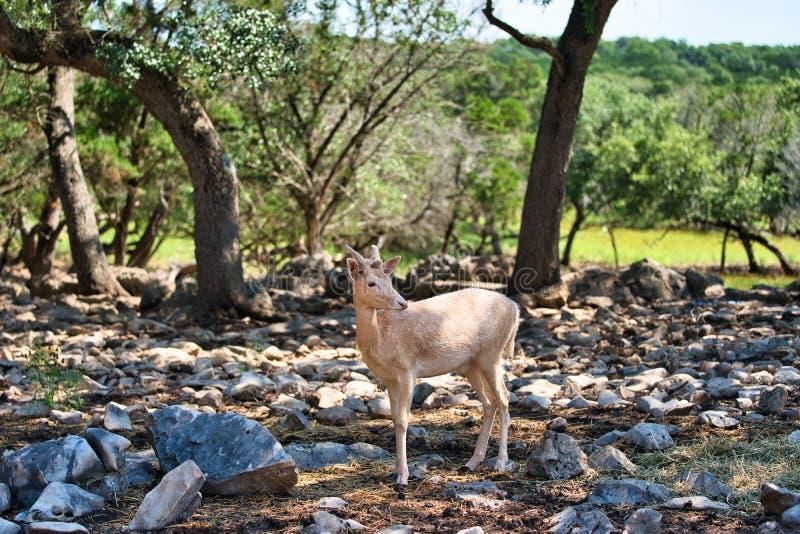Albino African-Tiefland Antilope stockfotografie