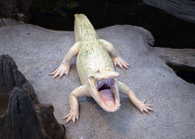 Albino Alligator imagem de stock royalty free
