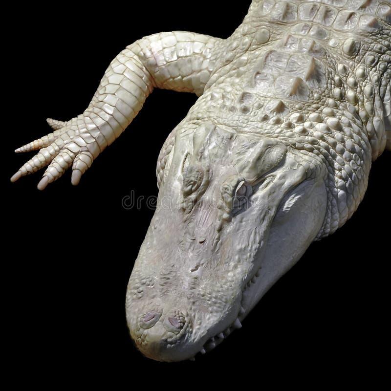 Albino Alligator imagem de stock