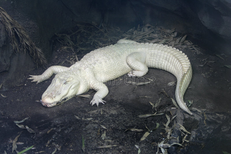 Albino alligator royalty free stock photos