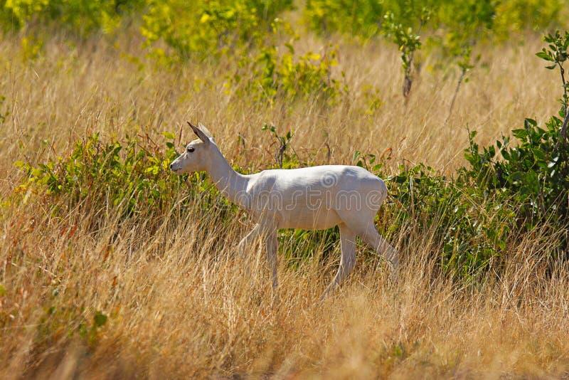 Albino Black Buck, Antilope-cervicapra, het Nationale Park van Velavadar, Gujarat royalty-vrije stock afbeeldingen
