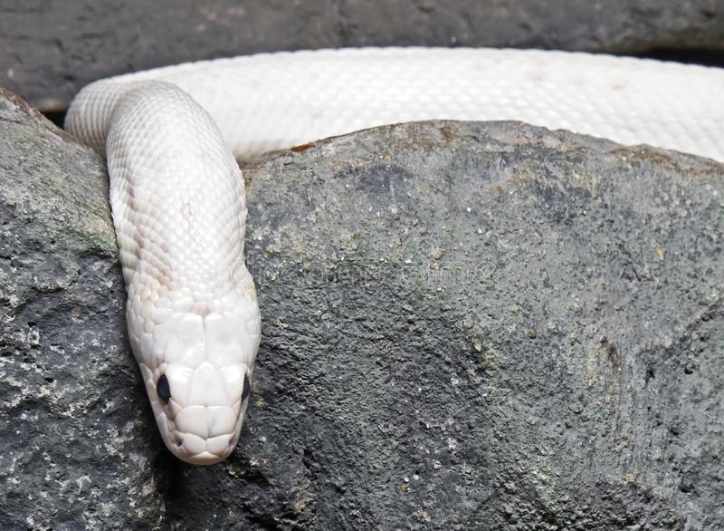 Albino Black Rat Snake Coiled dans la caverne images stock