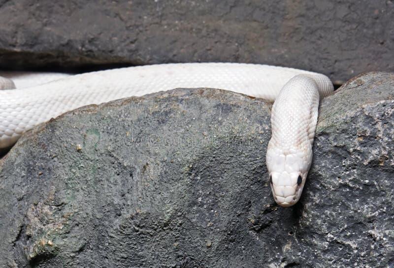 Albino Black Rat Snake Coiled dans la caverne photo libre de droits