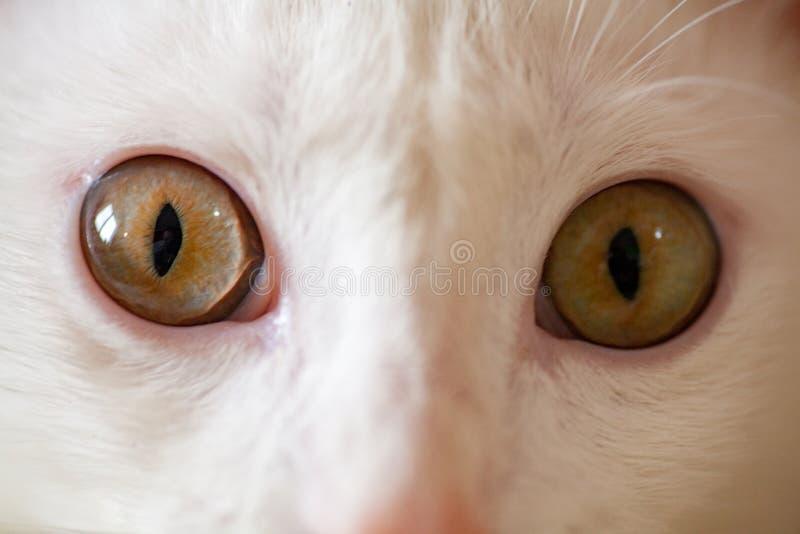 Albino blanco del gato fotos de archivo