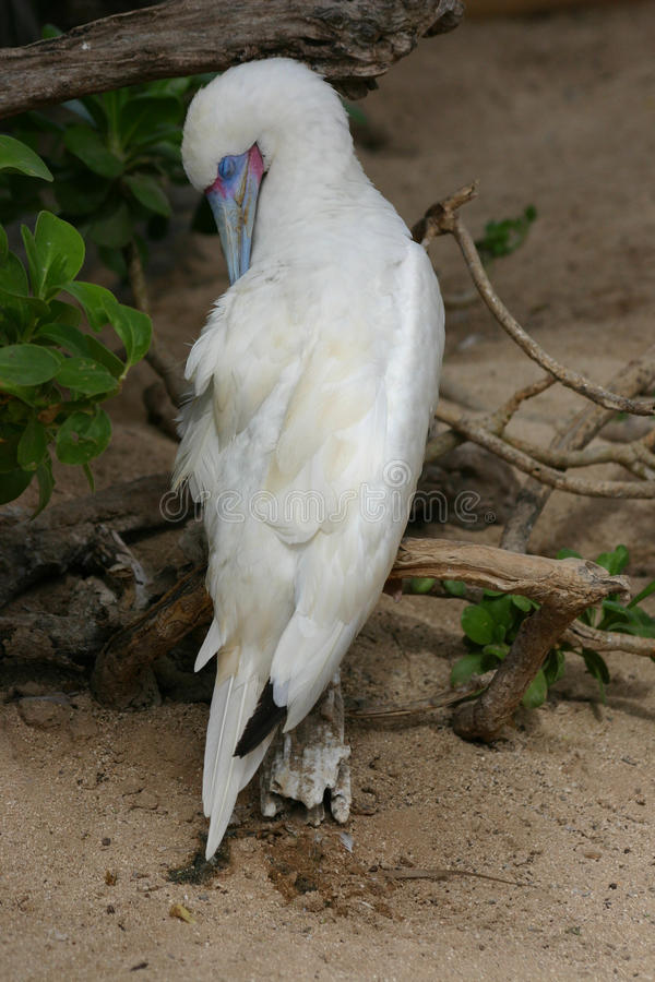 Albino Blue-Footed Booby royalty-vrije stock afbeelding