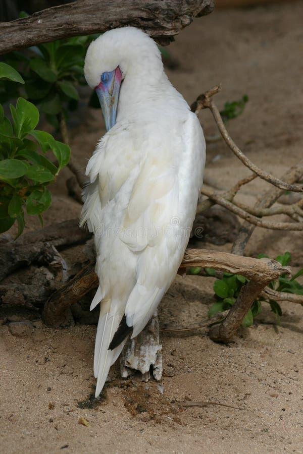 Albino Blue-Footed Booby imagen de archivo libre de regalías