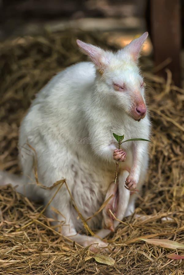 Albino branco do canguru fotos de stock