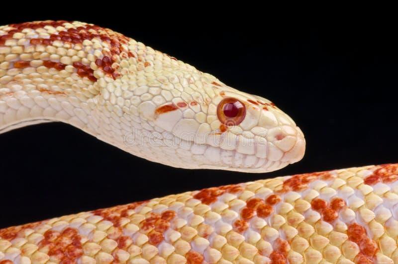 Albino bullsnake stock afbeelding