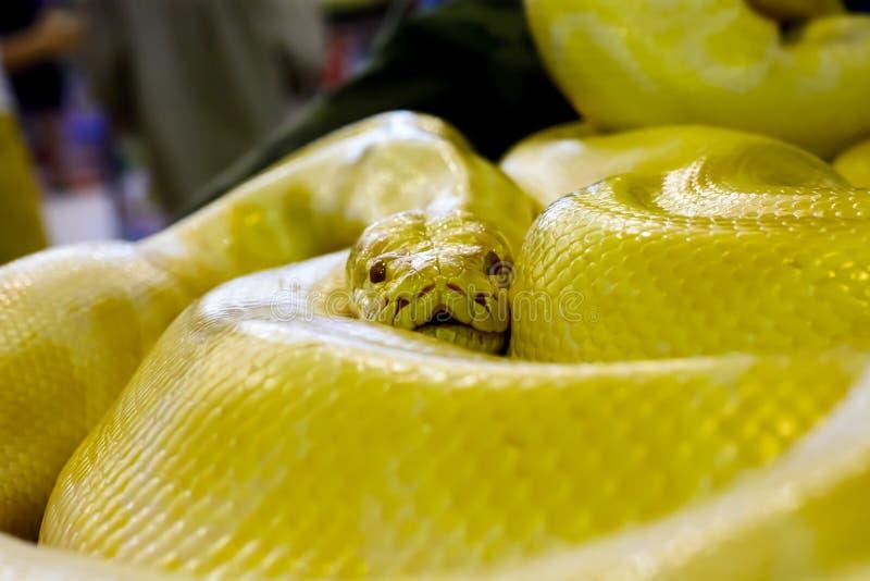 Albino Burmese Python imagen de archivo