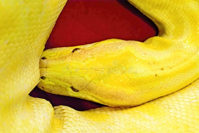 Albino Burmese Python foto de archivo