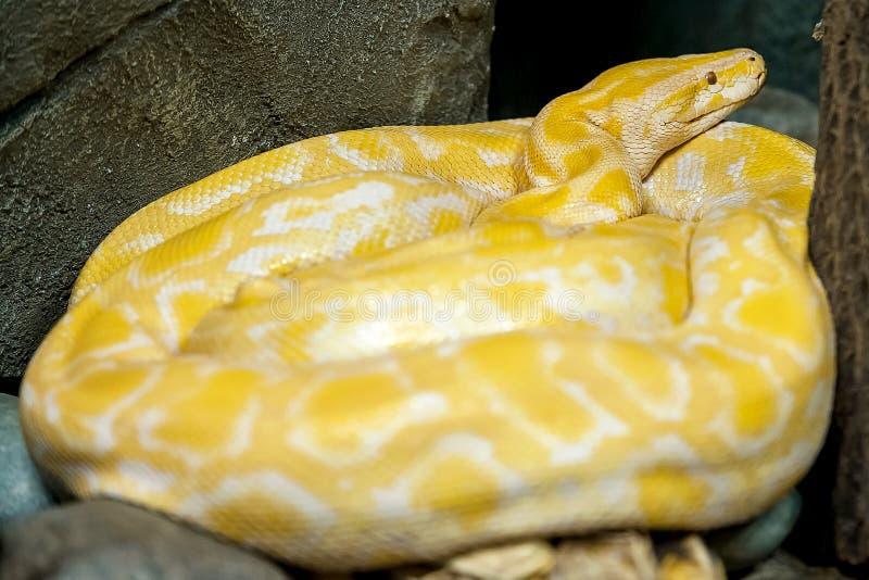 Albino Burmese Python Python molurus bivittatus. Golden yellow snake  lying on ground stock photo