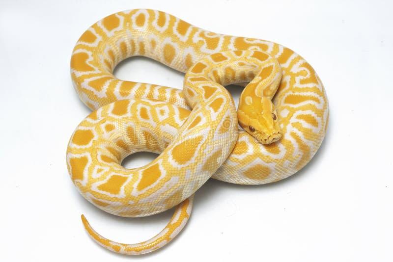 Albino Burmese Python Python molurusbivittatus arkivbilder