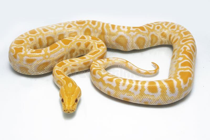 Albino Burmese Python Python molurusbivittatus arkivbild