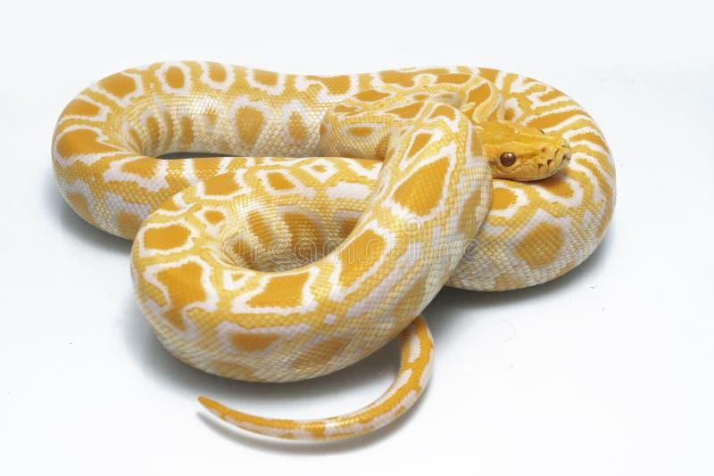 Albino Burmese Python Python molurusbivittatus fotografering för bildbyråer