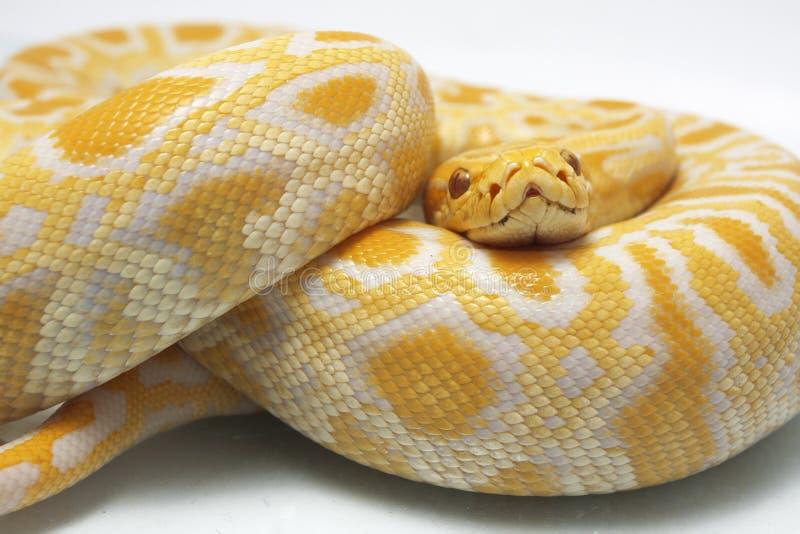 Albino Burmese Python Python molurusbivittatus arkivfoton