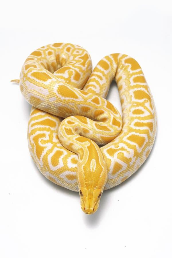 Albino Burmese Python Python molurusbivittatus royaltyfri fotografi