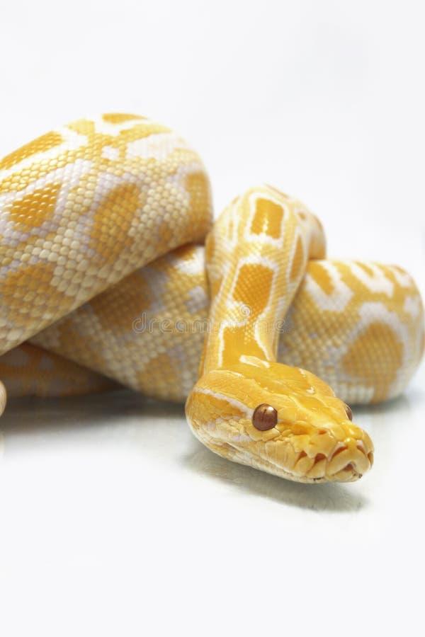 Albino Burmese Python Python molurusbivittatus royaltyfri foto