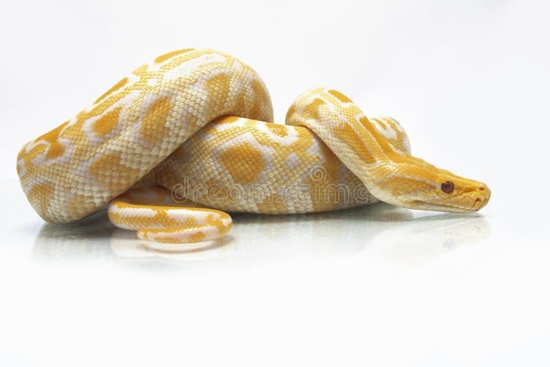 Albino Burmese Python Python molurusbivittatus royaltyfria foton