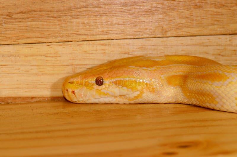 Albino Burmese Python (Python bivittatus). Beautiful albino Burmese Python (Python bivittatus) sleeping in terrarium stock photos