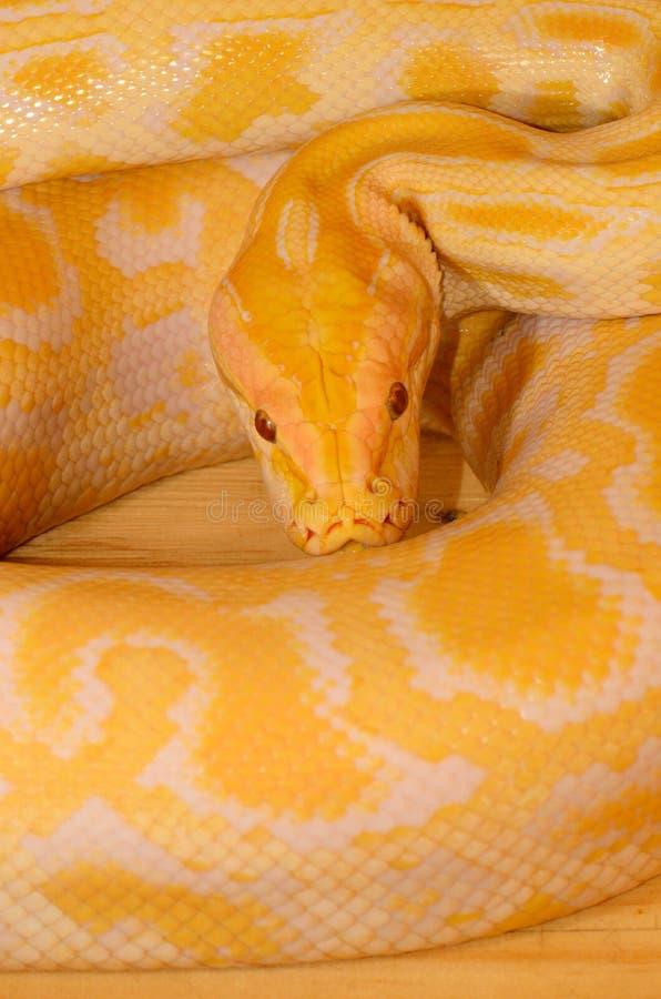Albino Burmese Python (Python bivittatus). Beautiful albino Burmese Python (Python bivittatus) sleeping in terrarium royalty free stock photo