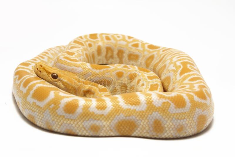 Albino Burmese Python Python molurus bivittatus royalty free stock photo