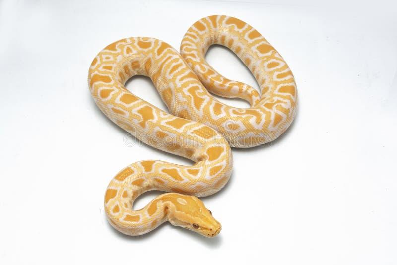 Albino Burmese Python Python molurus bivittatus stock photography