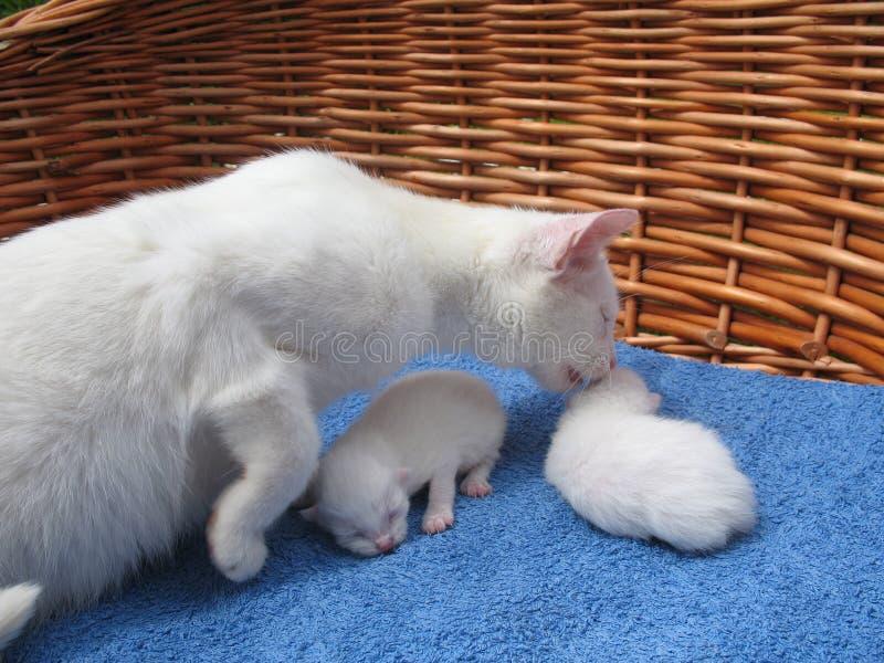 Albino cats stock photo