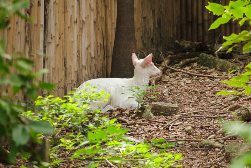 Albino Common Barking Deer är som en vanlig hjort, royaltyfria foton