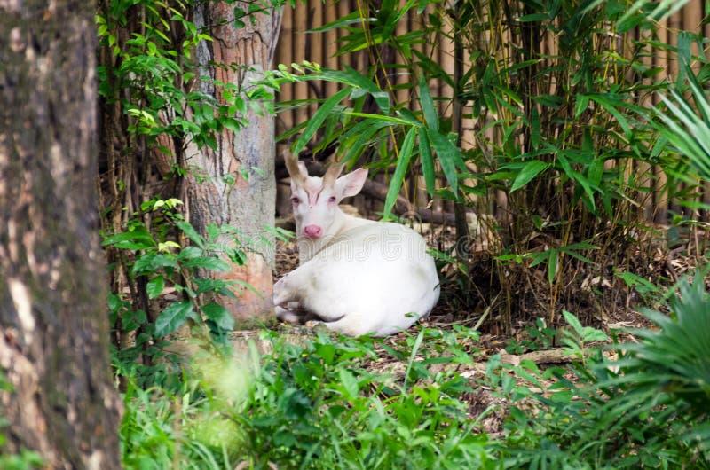 Albino Common Barking Deer photographie stock