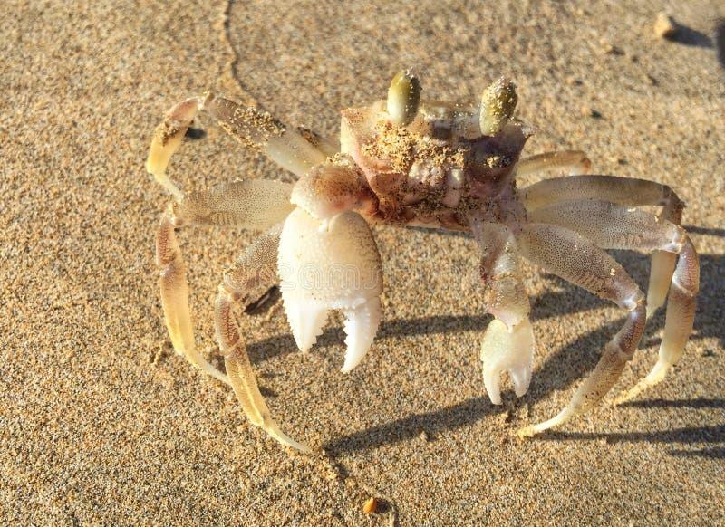 Albino Crab stock afbeelding
