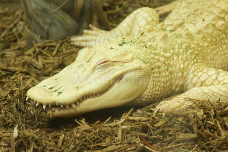 Albino Croc fotografering för bildbyråer