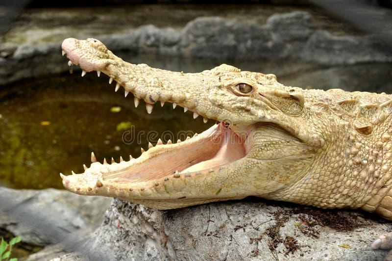 Albino crocodile royalty free stock image