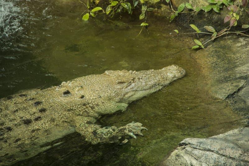 Albino Crocodile en agua imágenes de archivo libres de regalías