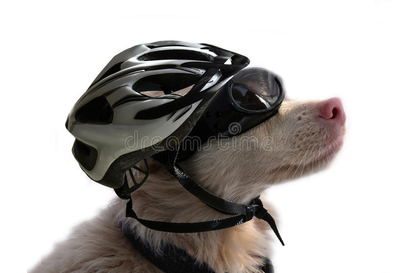 Albino dog with sunglasses and bike helmet royalty free stock images