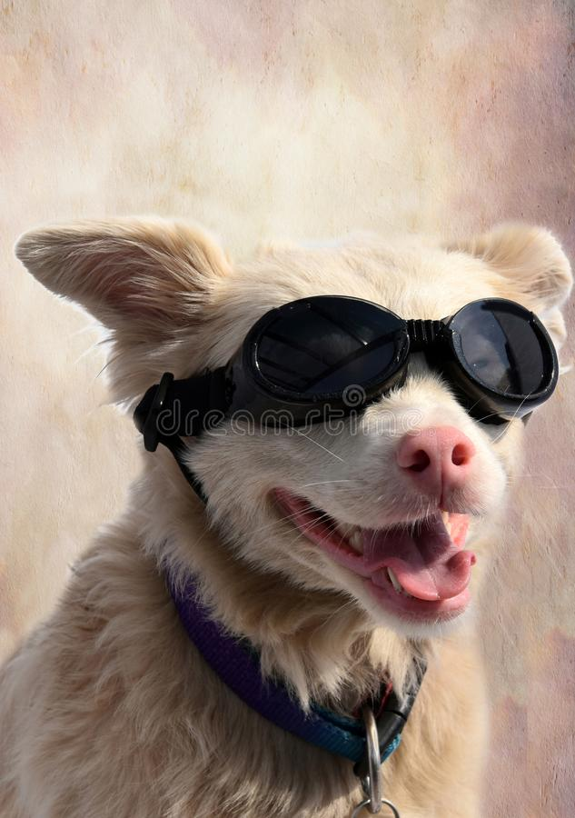 Albino dog with sunglasses. Cute crossbreed albino dog wearing special dog sunglasses as protection for his light-sensitive eyes. Ideal for your mobile cell