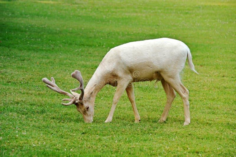 Albino fallow deer royalty free stock images