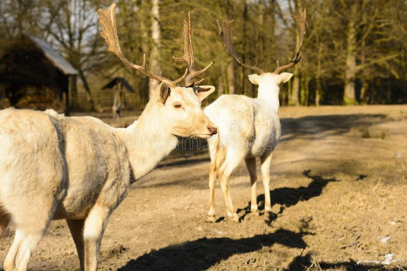 Albino fallow deer standing on a dusty road at sunset stock images