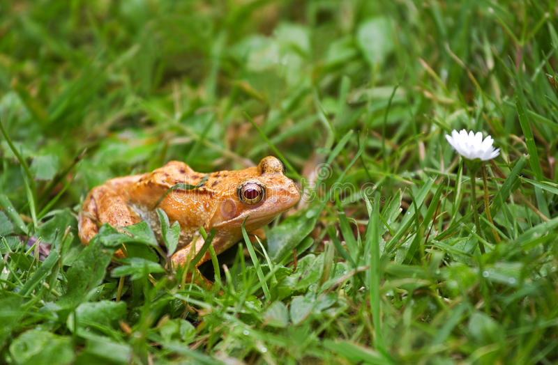 Albino Frog With Red Eyes Stock Images