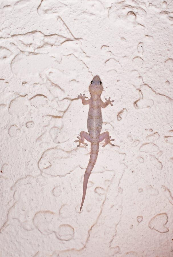 Albino Gecko stock photography