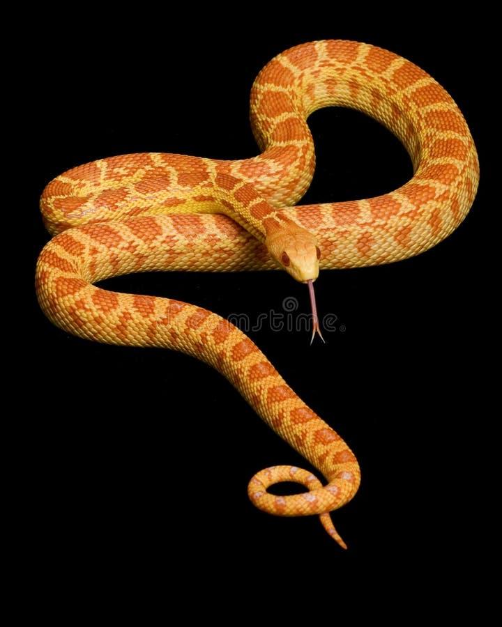 Albino-Gopher-Schlange stockbilder