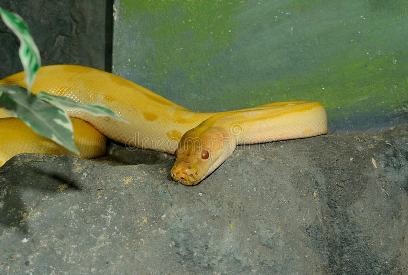 Albino green Burmese Python (Python bivittatus) stock photos