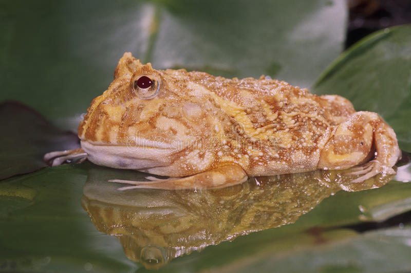 Download Albino Horn Frog (ceratophrys Cranwelli) Stock Photo - Image: 16034316