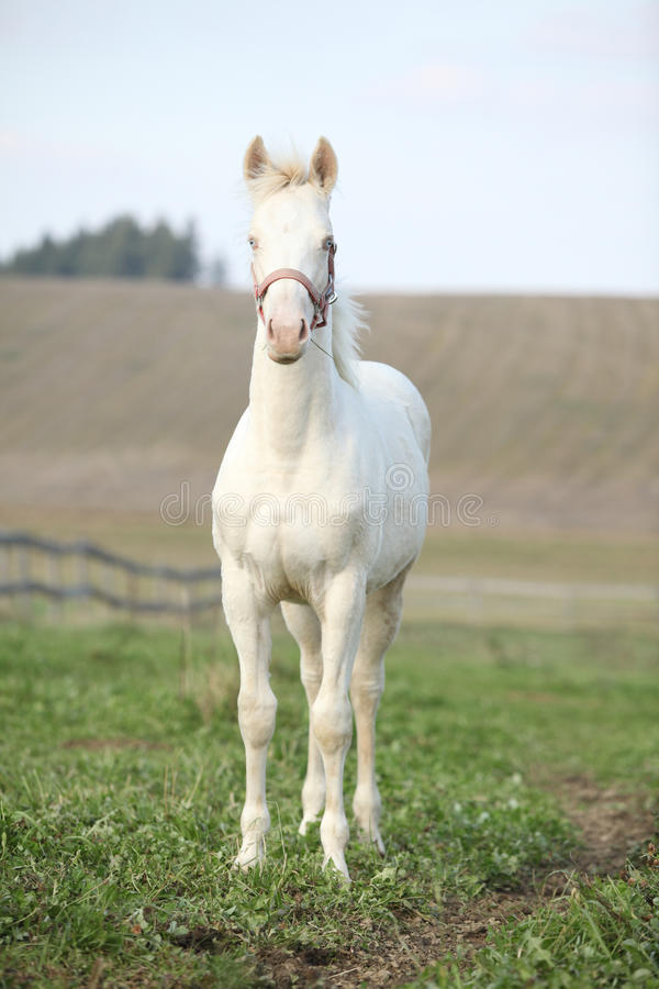 Download Albino Horse With Pink Halter Stock Image - Image of still, inaction: 30414767