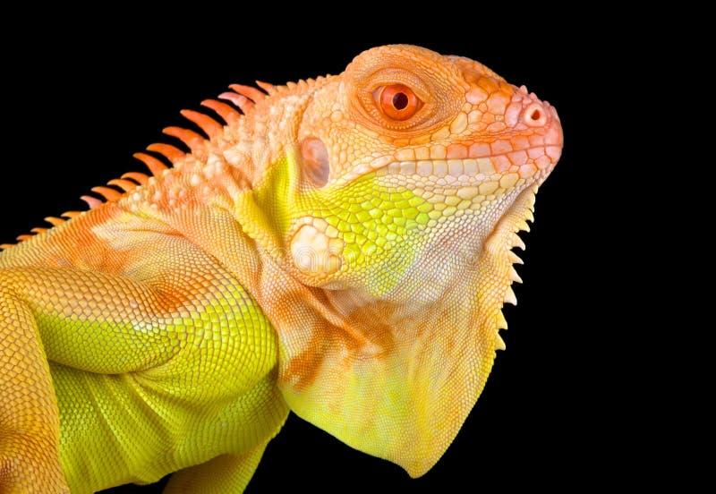 Albino iguana Iguana iguana στοκ εικόνες