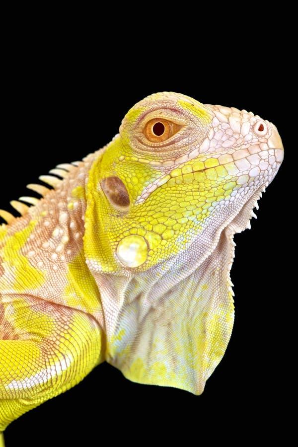 Albino Iguana (iguana Iguana) στοκ φωτογραφία με δικαίωμα ελεύθερης χρήσης