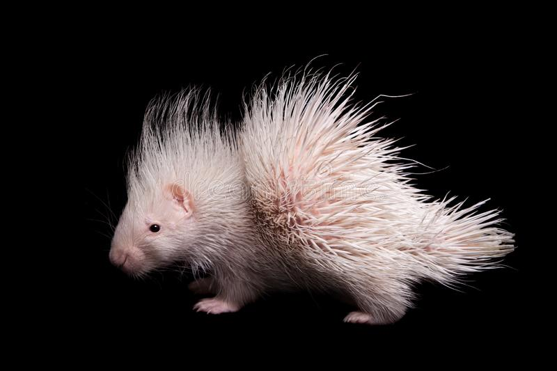 Albino indian crested Porcupine baby on black backgrond. Albino indian crested Porcupine baby, Hystrix indica, isolated on black background royalty free stock images