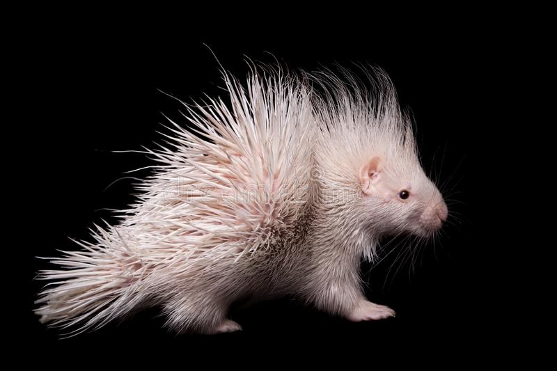 Albino indian crested Porcupine baby on black backgrond. Albino indian crested Porcupine baby, Hystrix indica, isolated on black background stock photography